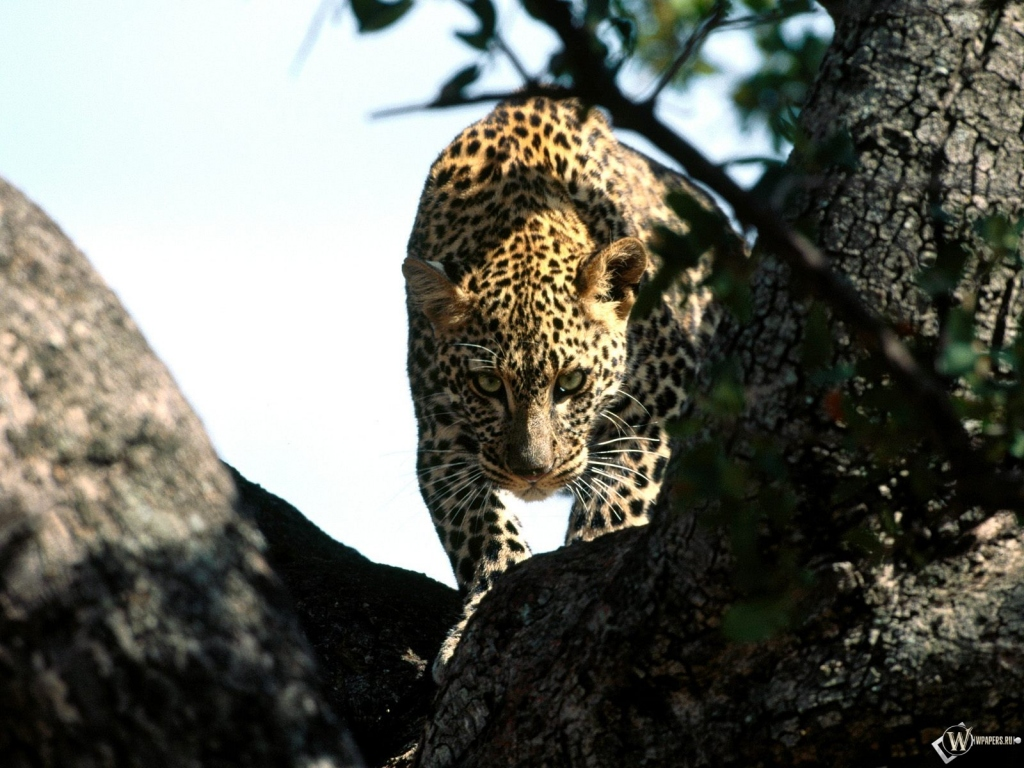 Леопард крадется по дереву 1024x768