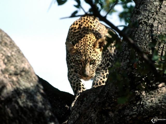 Леопард крадется по дереву