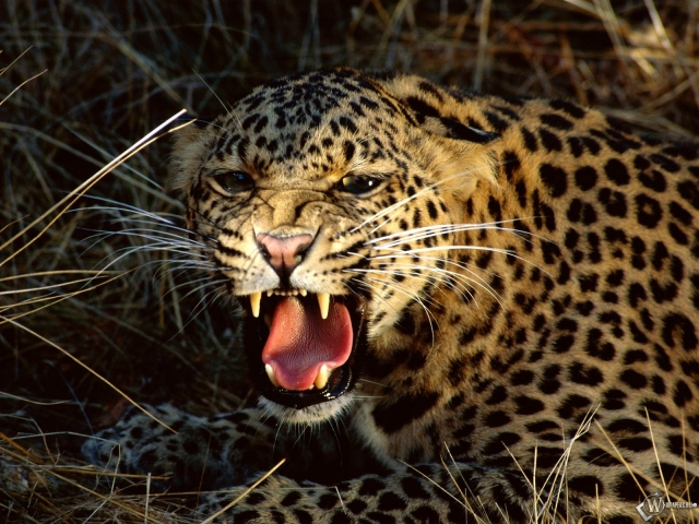 Леопард рычит