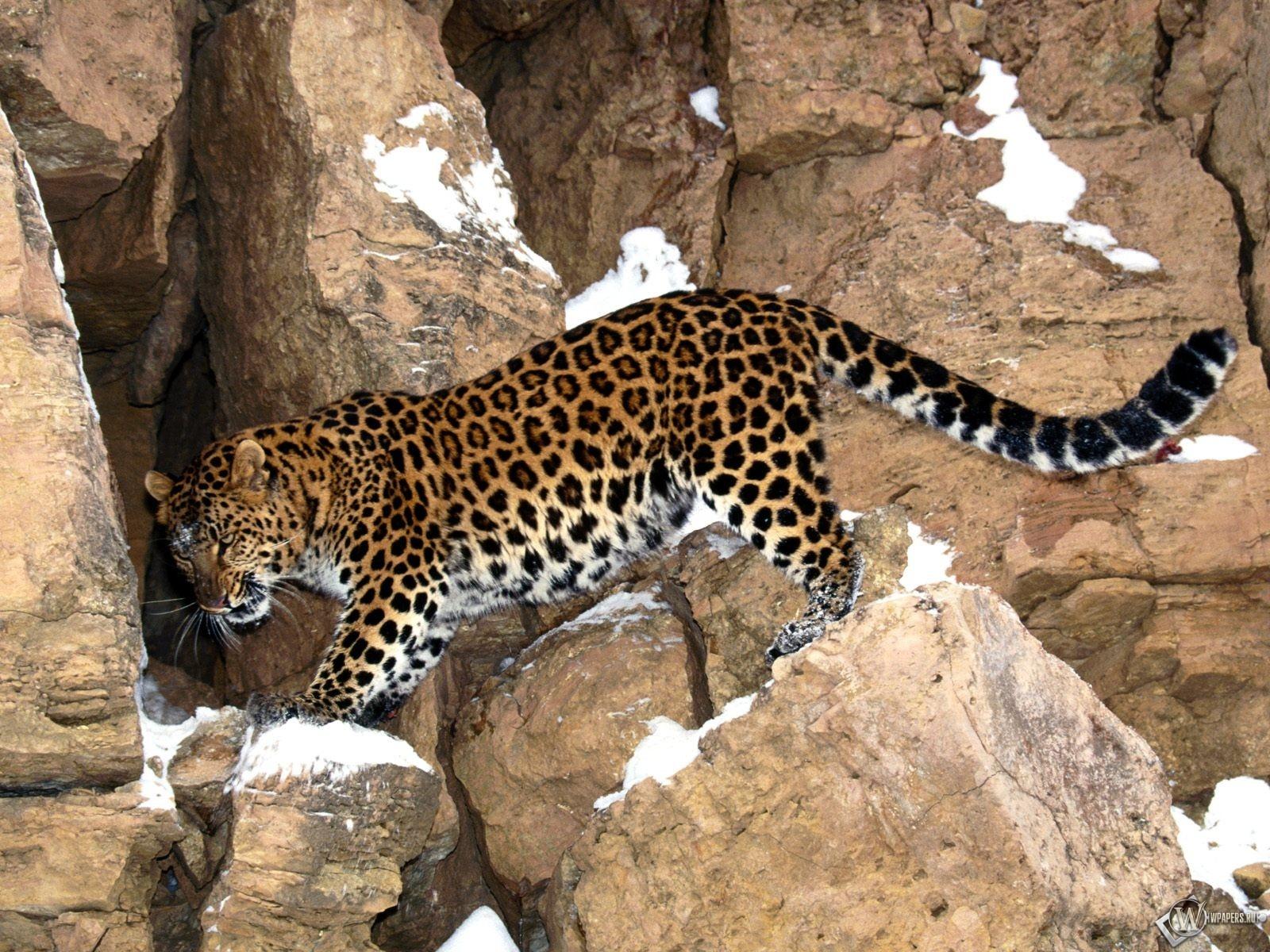 Леопард на камнях 1600x1200