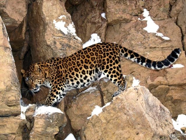 Леопард на камнях