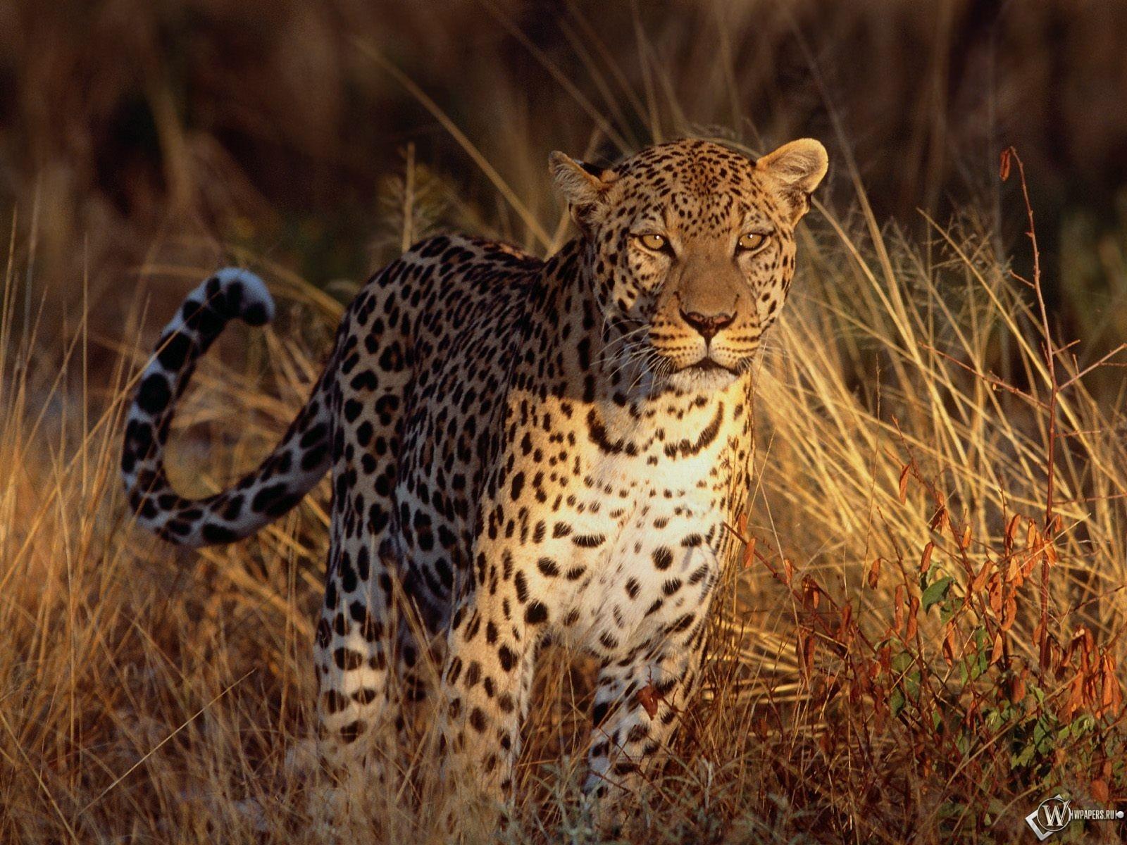Леопард в травке 1600x1200