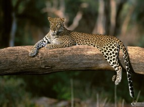 Обои Леопард на дереве: , Леопарды