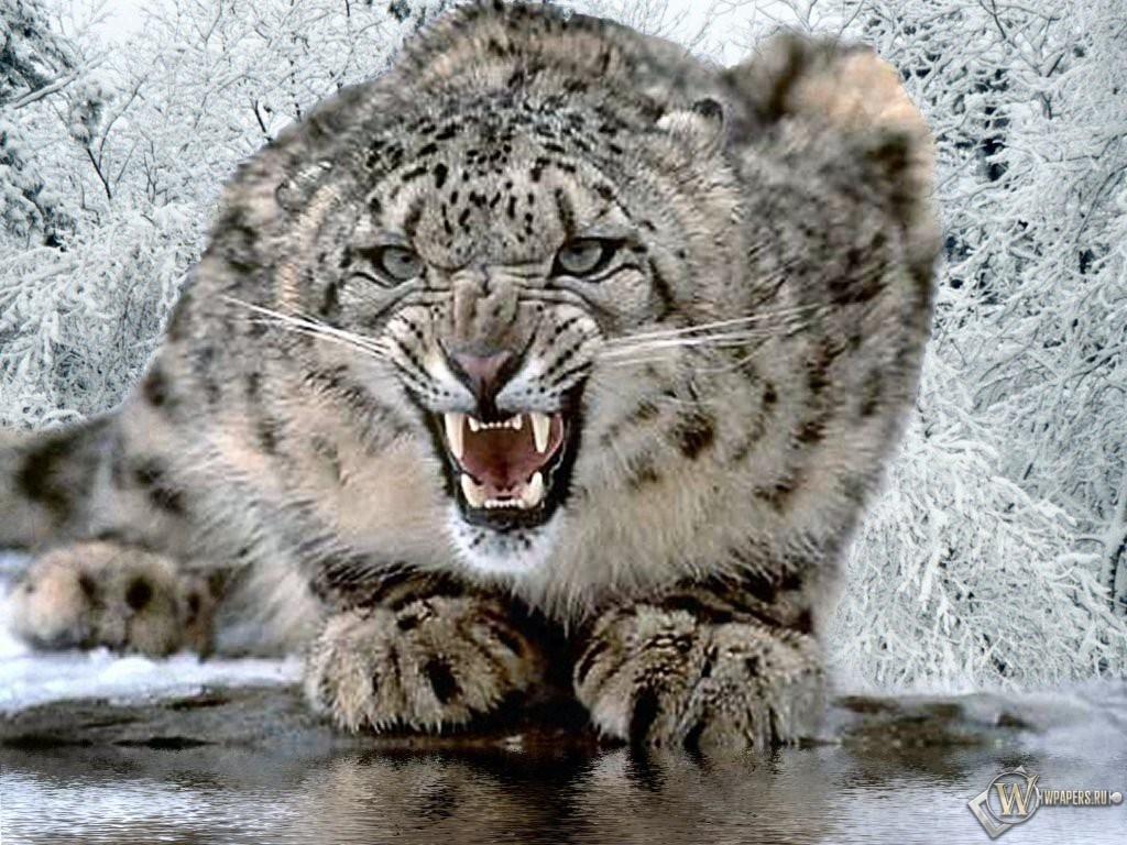 Снежный Леопард 1024x768