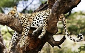 Обои Леопард на дереве: Леопард, Дерево, Леопарды