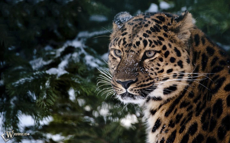 Леопард в хвойном лесу 1440x900