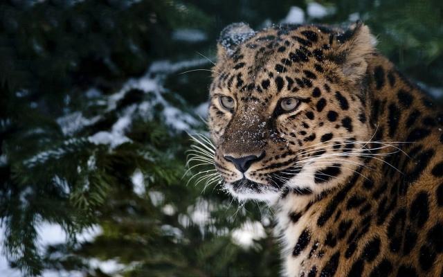 Леопард в хвойном лесу