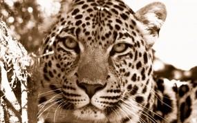 Обои Взгляд леопарда: Леопард, Взгляд, Хищник, Леопарды