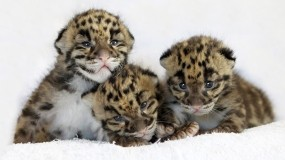 Обои Котята леопардов: Котята, Малыши, Леопарды, Крохи, Леопарды