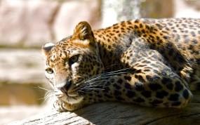 Отдых леопарда