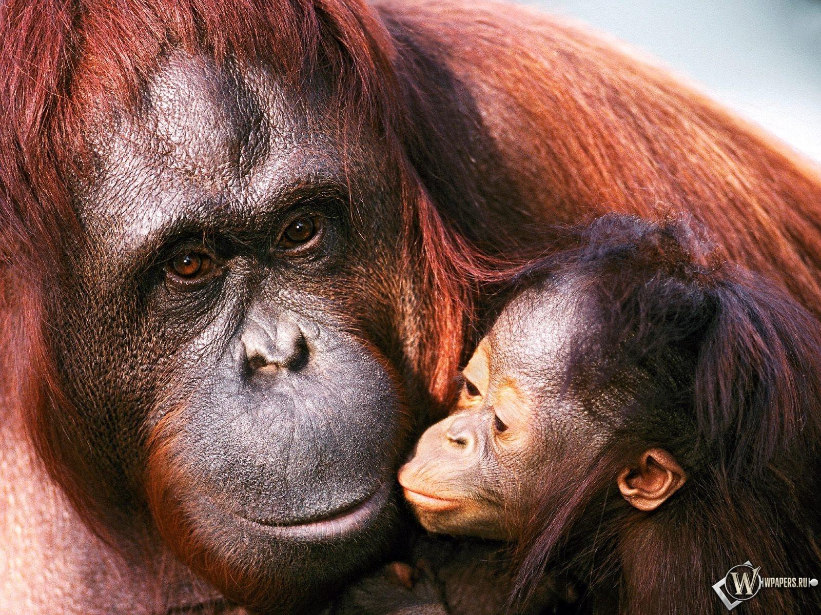 Орангутанги 1600x1200