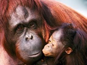 Обои Орангутанги: Орангутанг, Самка, Детеныш, Обезьяны