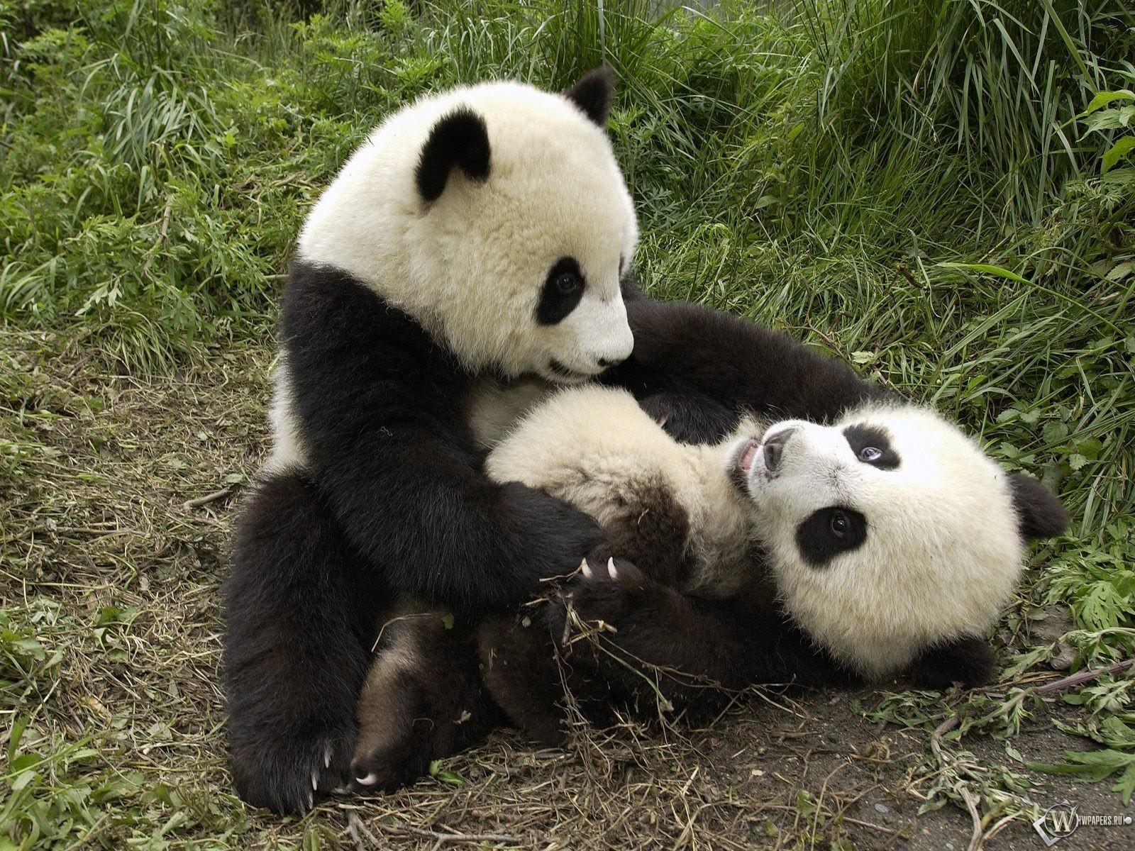 Панды играют 1600x1200