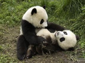 Обои Панды играют: , Панды