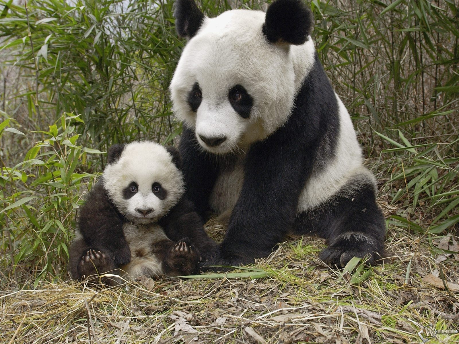 Панда с малышом 1600x1200