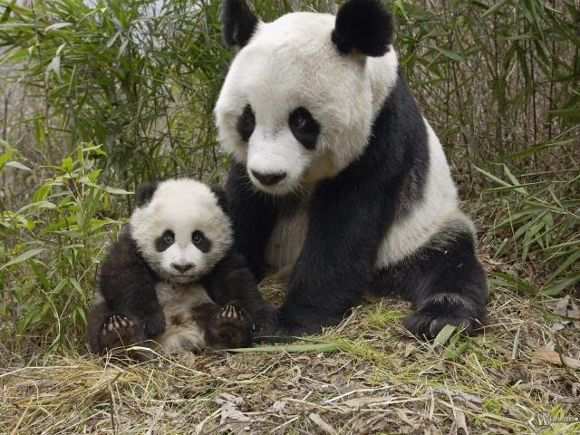 Панда с малышом