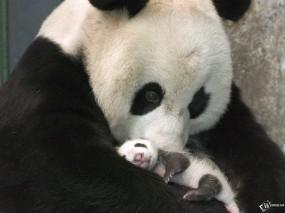 Панда и панденок