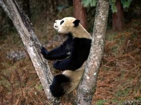 Обои Панда на дереве: , Панды