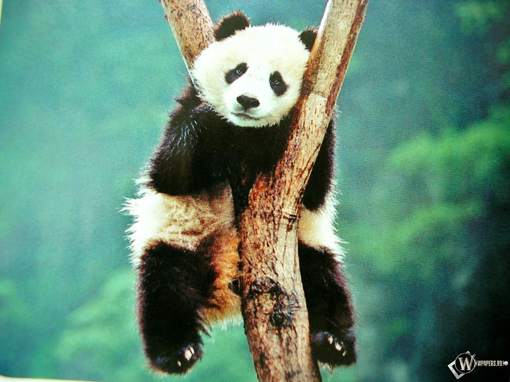 Панда повесилась 2048x1536
