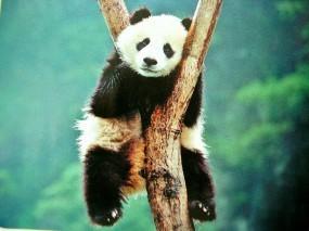 Обои Панда повесилась: Панда, Азиатский медведь, Джунгли, Панды