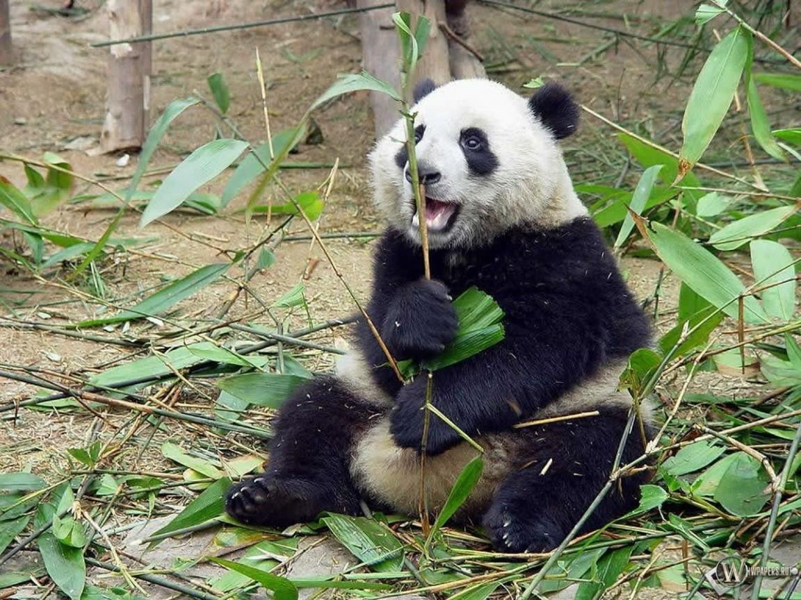 Панда и ветка бамбука 1152x864