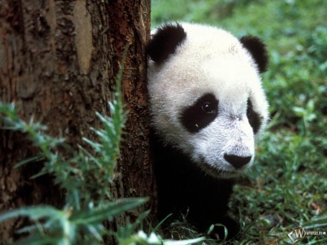 Панда выглядывает из-за дерева