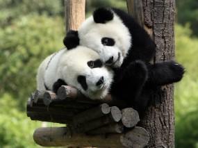 Панды обнимаются