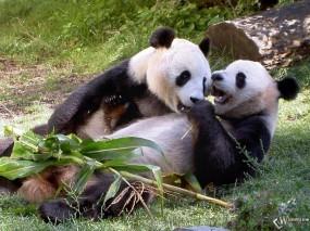 Обои Две панды : , Панды