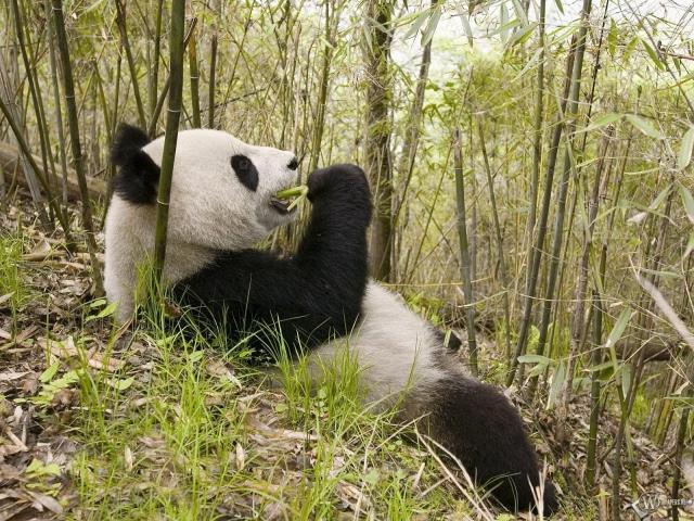 Панда в бамбуке
