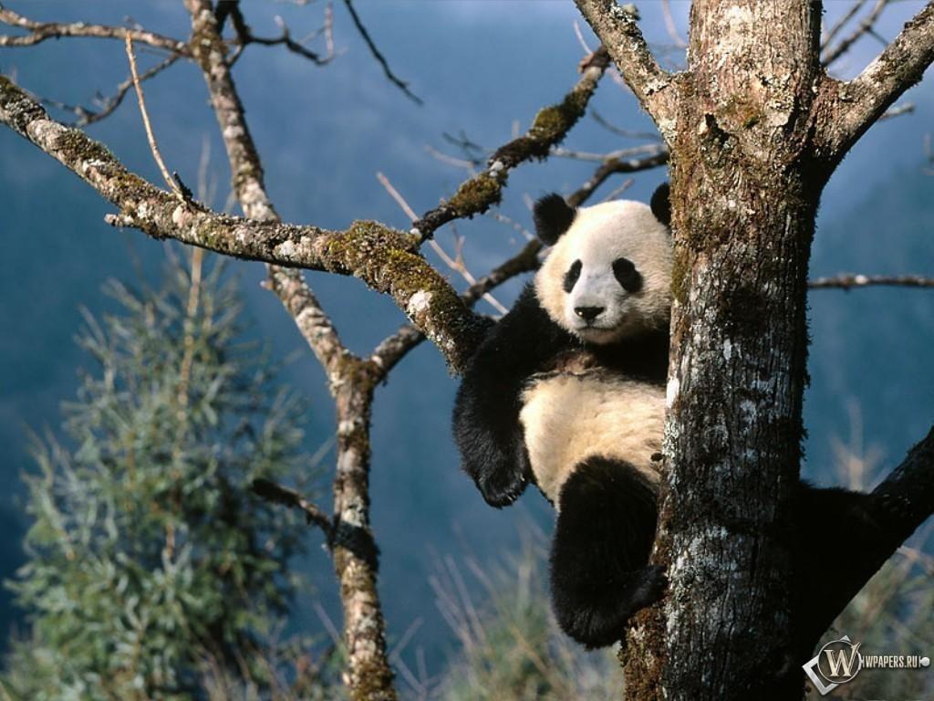 Панда на ветке 1024x768