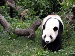 Обои Панда возле коряги: , Панды