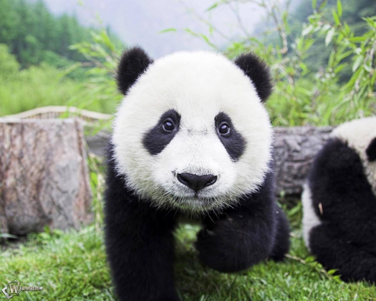 Медвежонок панда 1280x1024