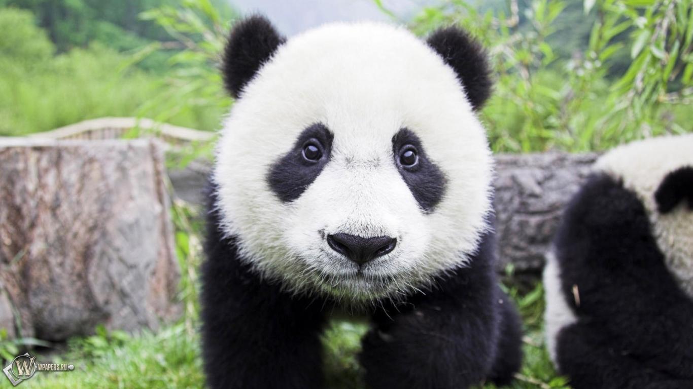 Медвежонок панда 1366x768