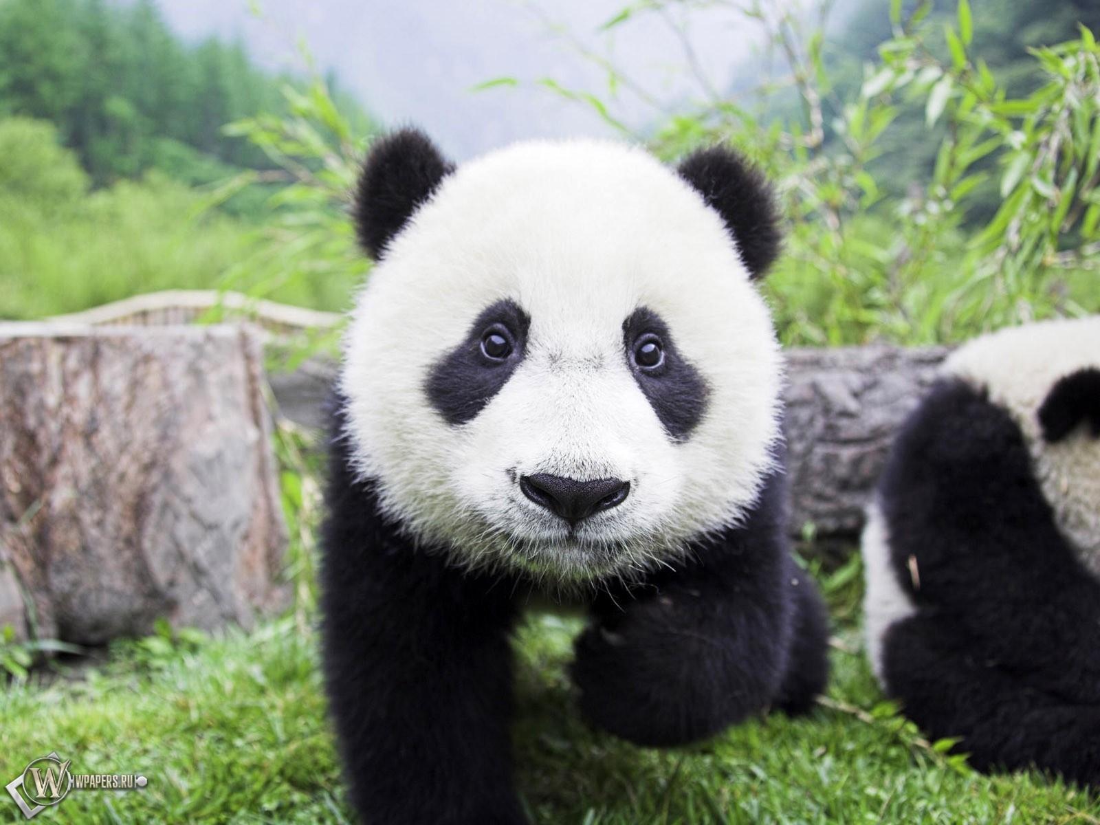 Медвежонок панда 1600x1200