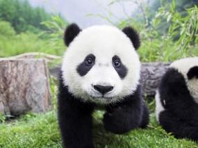 Обои Медвежонок панда: Панда, Морда, Медвежонок, Панды