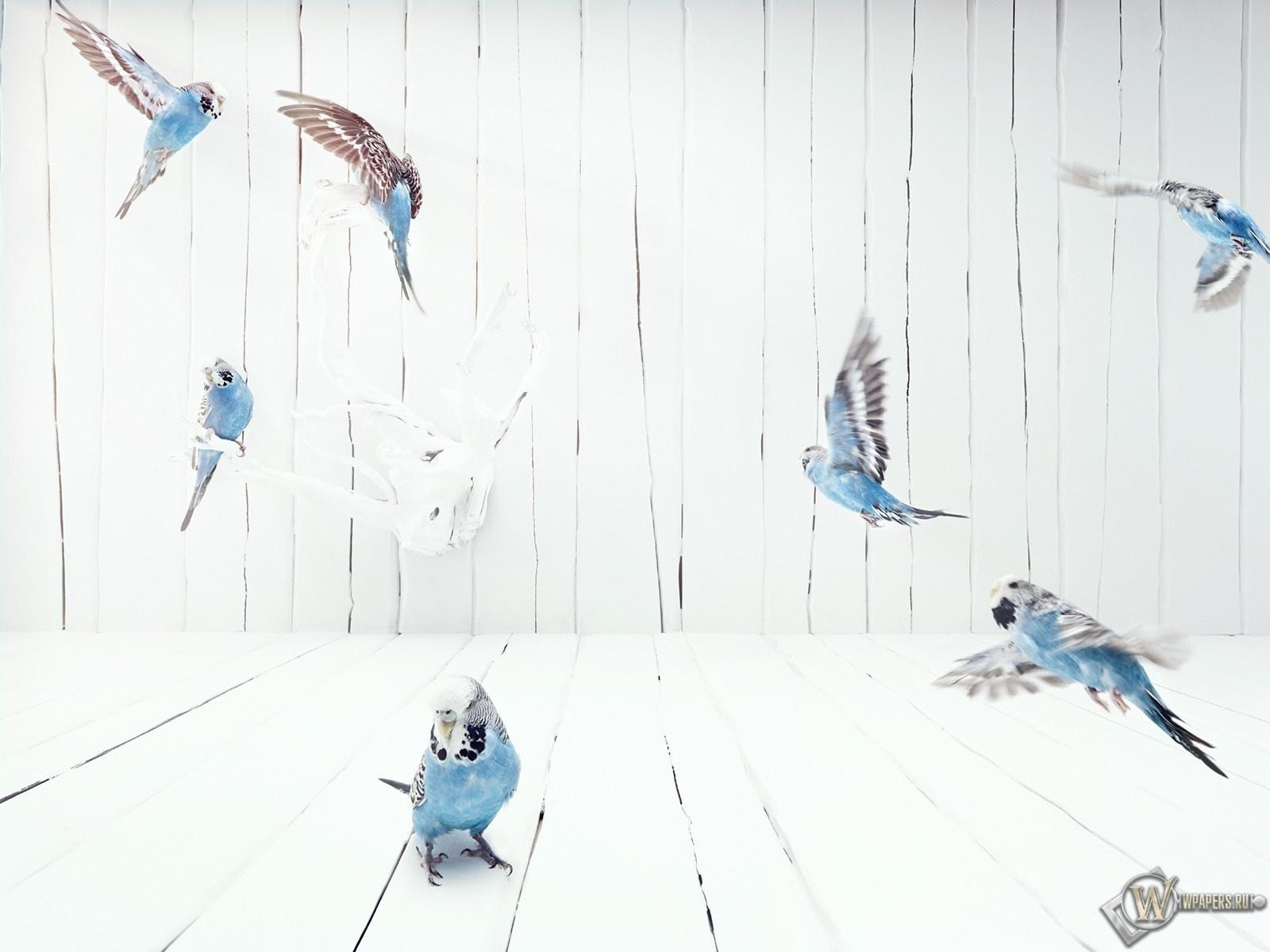 волнистые попугаи 1600x1200