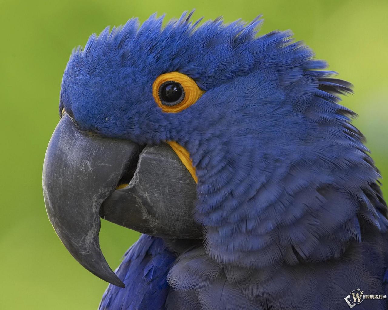 Синий попугай 1280x1024