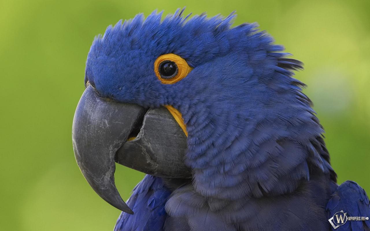 Синий попугай 1280x800