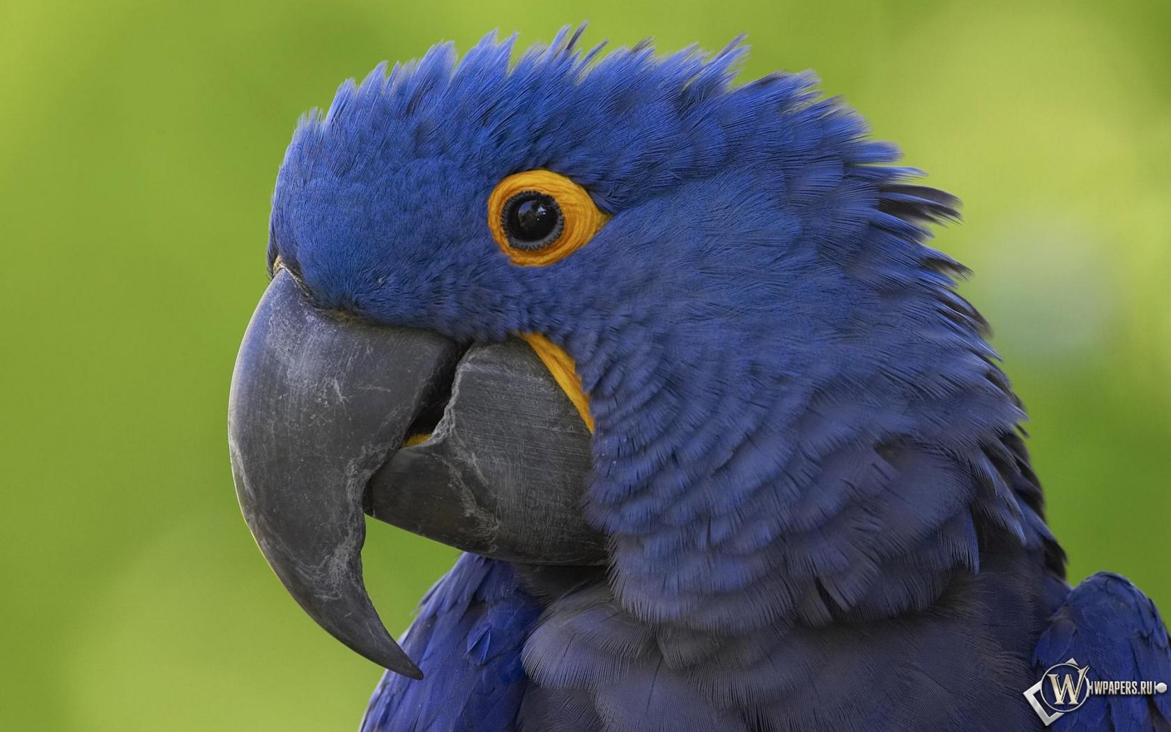 Синий попугай 1680x1050