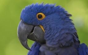Обои Синий попугай: Синий, Клюв, Попугай, Попугаи
