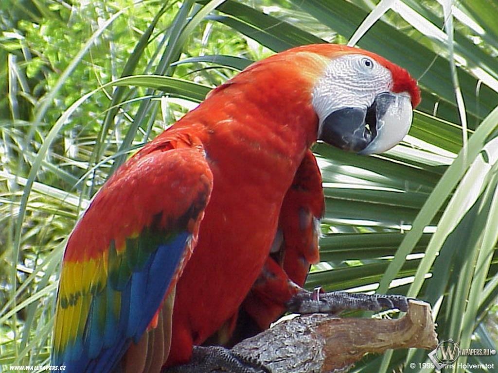 Говорящий попугай 1024x768