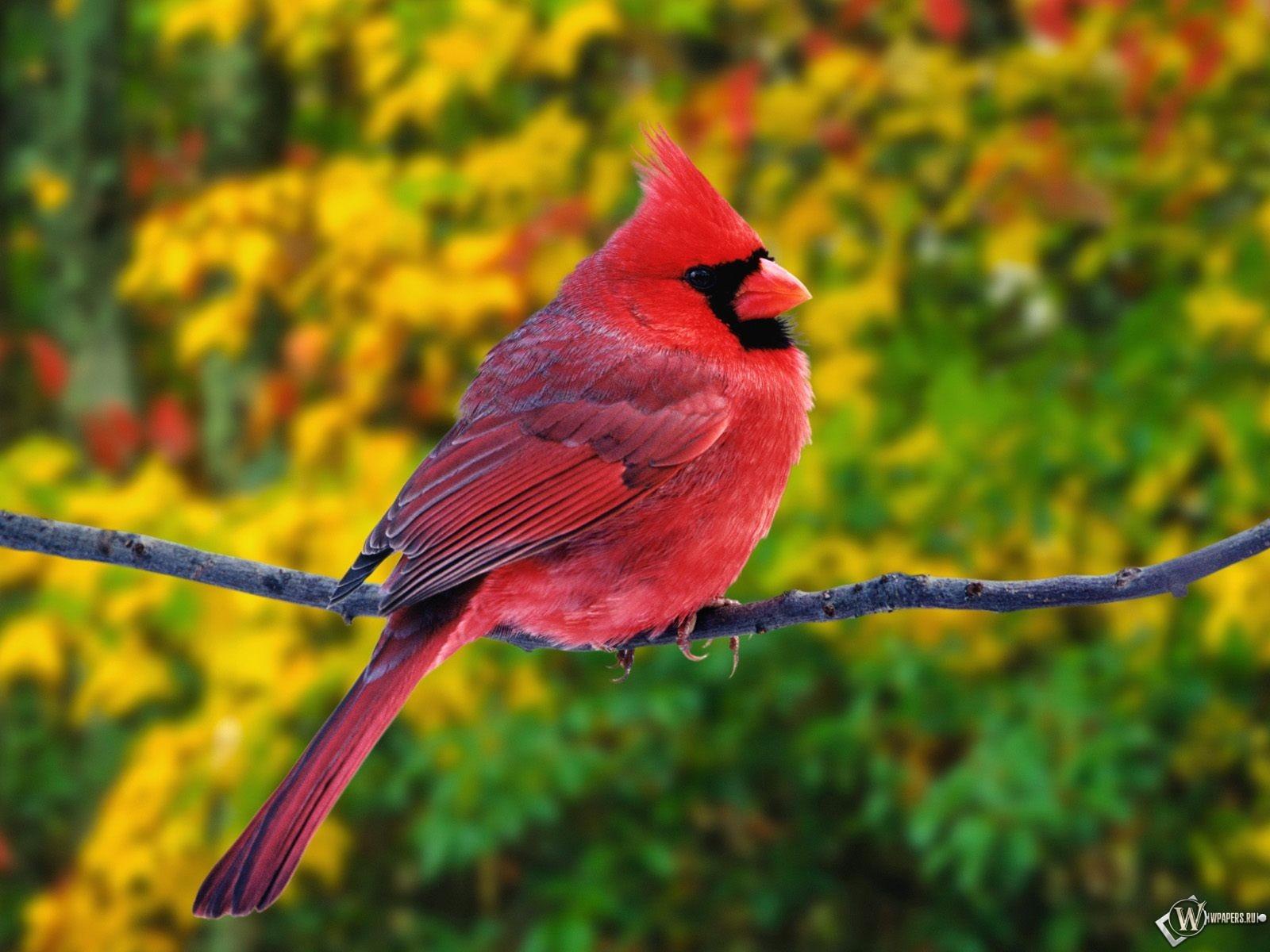 Красный кардинал 1600x1200