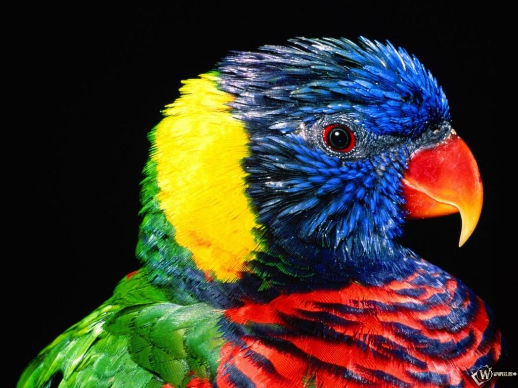 Красивый попугай 1024x768
