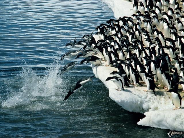 Массовое купание пингвинов