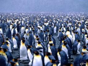 Обои Сборище пингвинов: , Пингвины