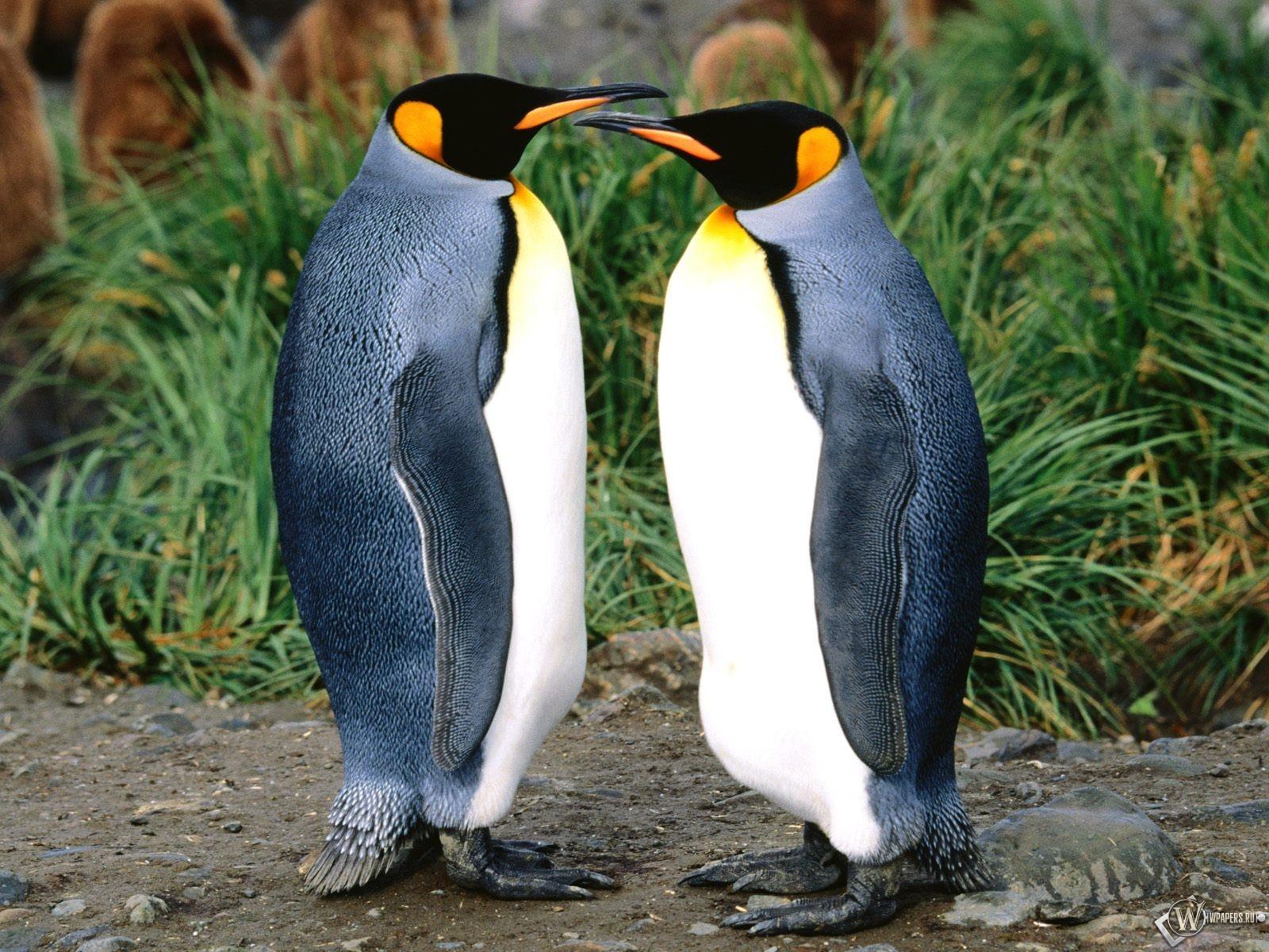 Два пингвина 1600x1200