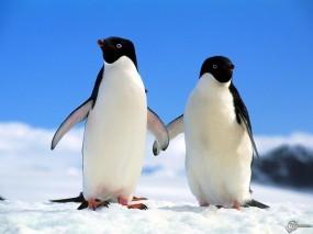 Обои Два пингвина: , Пингвины