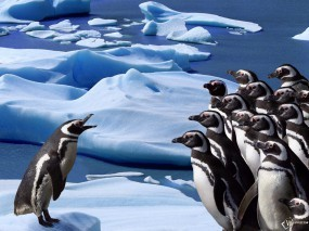 Обои Пингвиний форум: , Пингвины