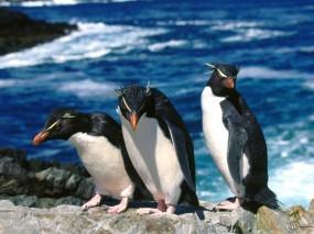 Обои Трое пингвинов: , Пингвины