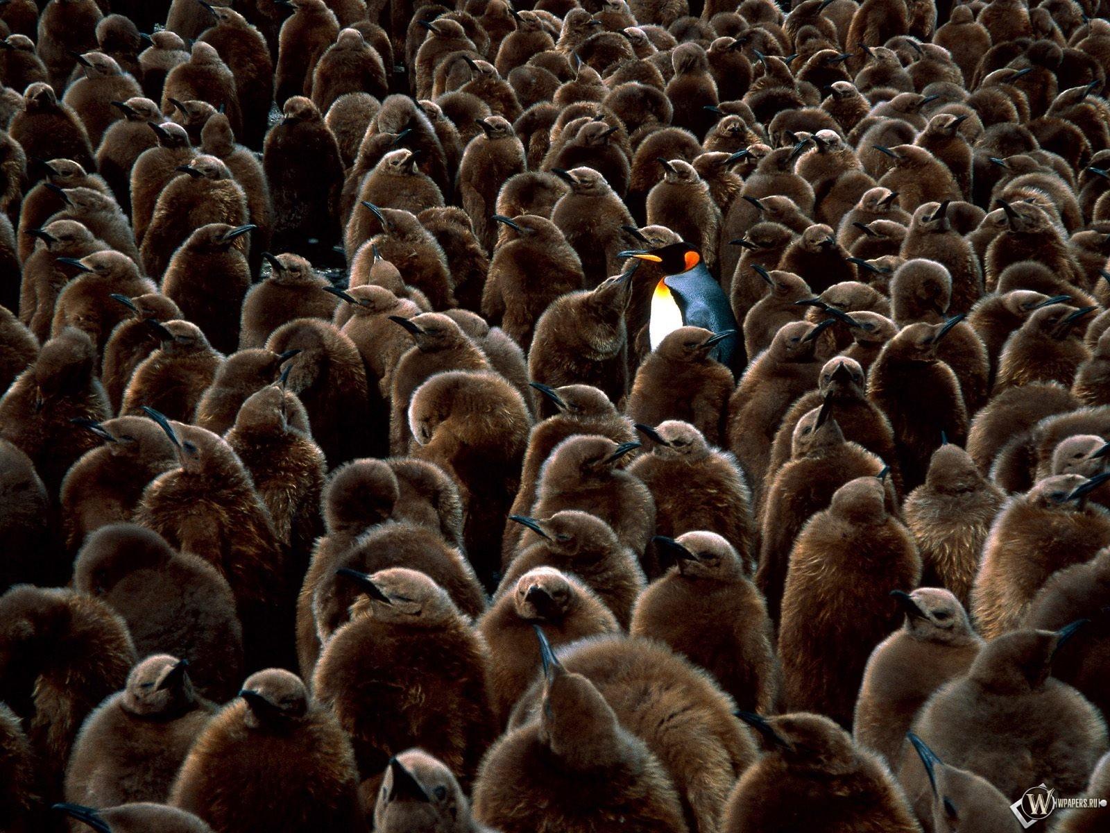 Пингвин среди серых пингвинов 1600x1200
